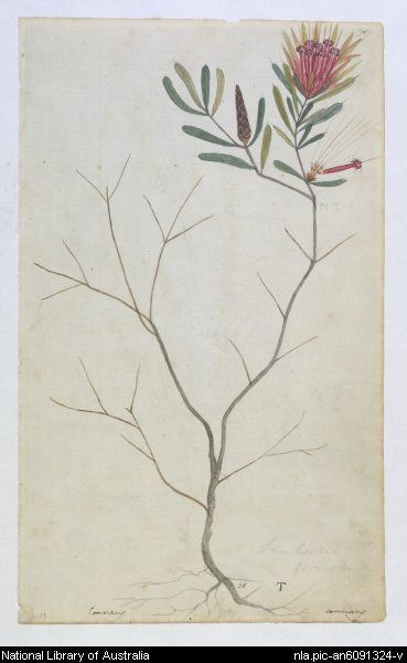Unknown Australian artist, Mountain devil (lambertia formosa) plant of Botany Bay (1800)