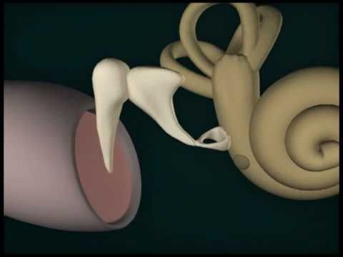 3D Human Ear--Good video on sound and how the ear works