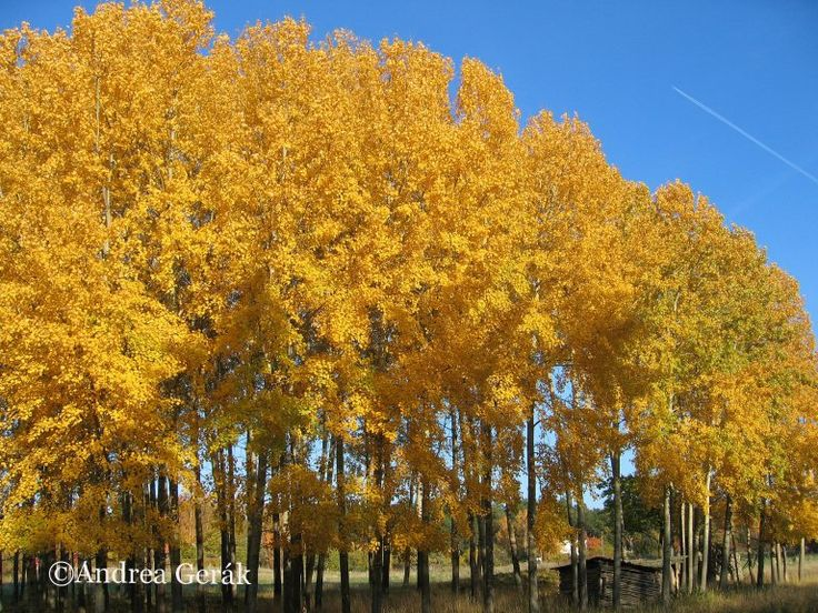 Aspen trees in the autumn. Faringso Island, Sweden