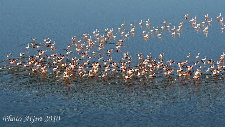 Pink herons