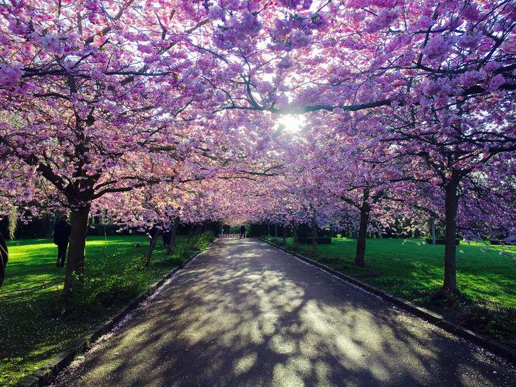 Cherry blossom Bispebjerg kirkegård CPH NV - Denmark