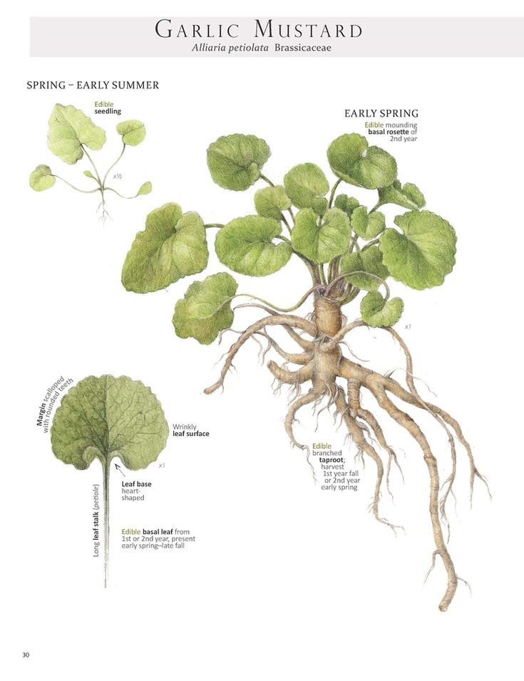 Garlic Mustard in basal rosette stage, aperfect time for making wild-style horseradish with the root. Image from our book Foraging & Feasting: A Field Guide and Wild Food Cookbook by Dina Falconi; illustrated by Wendy Hollender.http://bit.ly/1Auh44Q