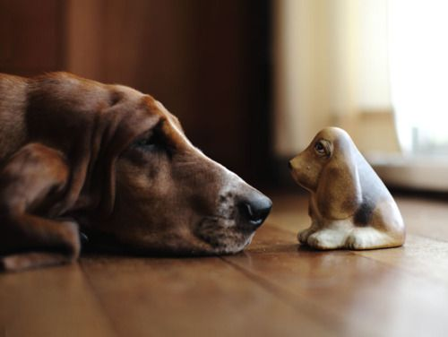 the stare-down: Hound Dogs, Minis Dog Qu, Bassett Hound, Dogs Photos, Dogs Lovers, Basset Hound, Bassethound, Beautiful Things, Animal