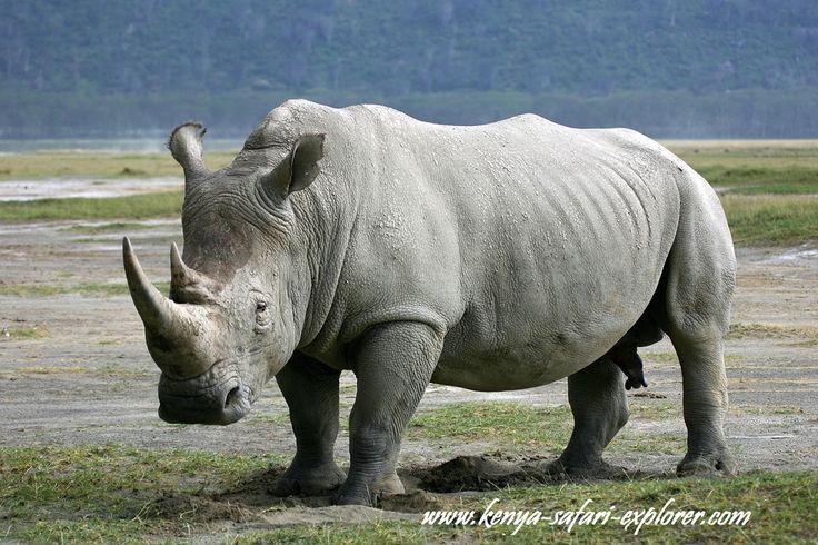 Safari in kenya : ceratotherium simum white square lipped rhino rinoceronte bianco rhinoceros blanc rinoceronte blanco