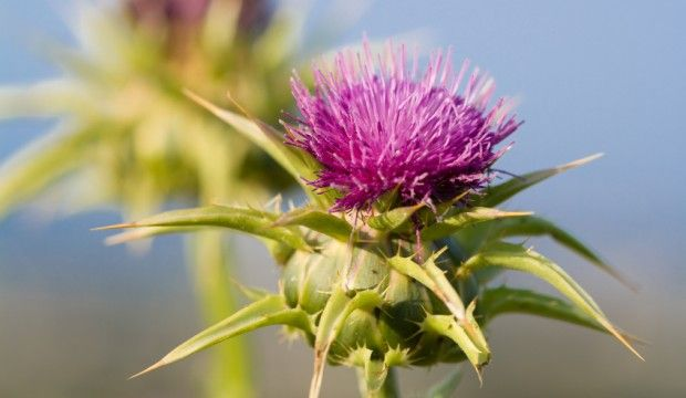 Milk Thistle is an herbal supplement that detoxifies and protects vital liver functions and more. It is the #1 researched and recommended herb for liver health.