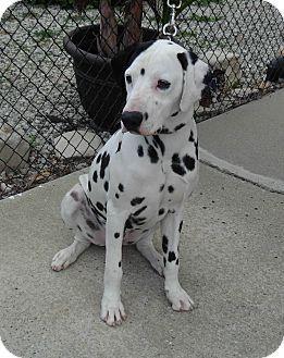 Gardena, CA - Dalmatian. Meet Ricky, a dog for adoption. http://www.adoptapet.com/pet/14862680-gardena-california-dalmatian