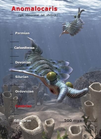 Anomalocaris is believed to be one of the very first large predators on the planet. There is still some debate about whether protective shell structures came before predation. What is clear though is that hardened body parts and predators both suddenly appeared at around the same time during the Cambrian period.