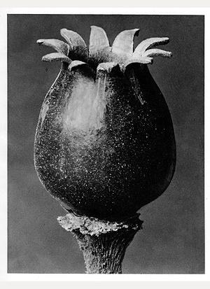 Night-Flowering Campion #46 [melandryum noctiflorum]
