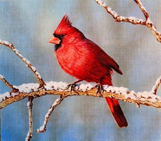 A beautiful Red Cardinal perches upon a limb after a newly fallen snow.