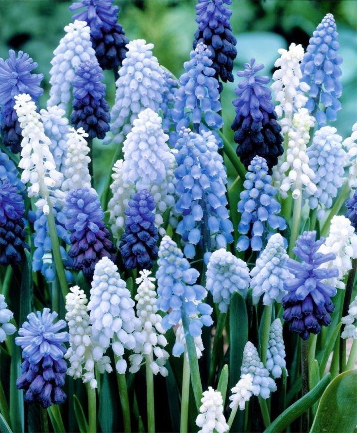 Magical Muscari Mixture--Our long-lasting balanced Magical Muscari Mixture includes Muscari armeniacum, Muscari botryoides album, Muscari latifolium and Muscari Valerie Finnis for tones of periwinkle, sapphire, cerulean, pale wisteria and white above ample foliage clumps.