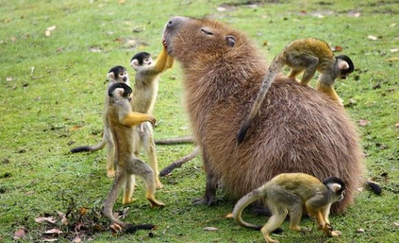 """My Kind of Petting Zoo"" The centre of attention is a capybara, the world's biggest rodent. They can be up to 50cm at the withers (shoulders). The (spider?) monkeys are small, so this image is probably genuine. Via: http://www.cutestpaw.com/images/my-kind-of-petting-zoo/"