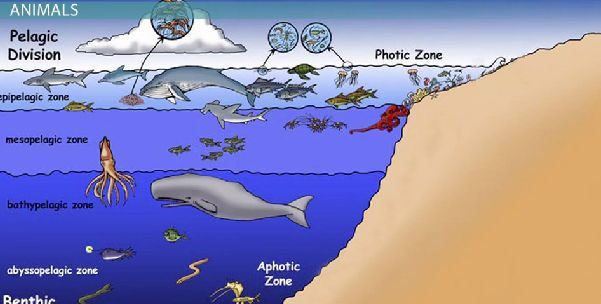 The open ocean is divided into many zones: The first one being the ...