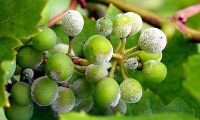 Мильдью —- очень опасная болезнь винограда. Возбудитель этой грибковой болезни поражает все зеленые части куста. Внешние признаки ее следующие: на верхней поверхности листа появляются небольшие светло-зеленые пятна, а снизу в том же самом месте виден белый мучнистый налет. Поврежденные места на листьях позднее отмирают. Затем белый налет появляется на соцветиях, они постепенно темнеют и засыхают. Позднее болезнь переходит на ягоды, которые приобретают темно-серую окраску, сморщиваются и…