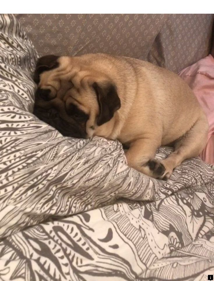 Find Out About Cheap Pugs For Sale Near Me Just Click On The Link