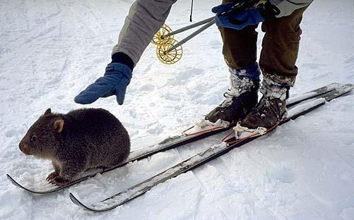 wombat on a ski. amazing.: Guys Gotta, Wombat Mainland, The Wombat, Tips, Gears, Bare Nos Wombat