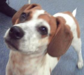 Darla is an adoptable Beagle Dog in Cleveland Heights, OH. When she arrived at the police station, Darla was stressed and confused. For three days she barely slept and never touched a morsel of food. ...