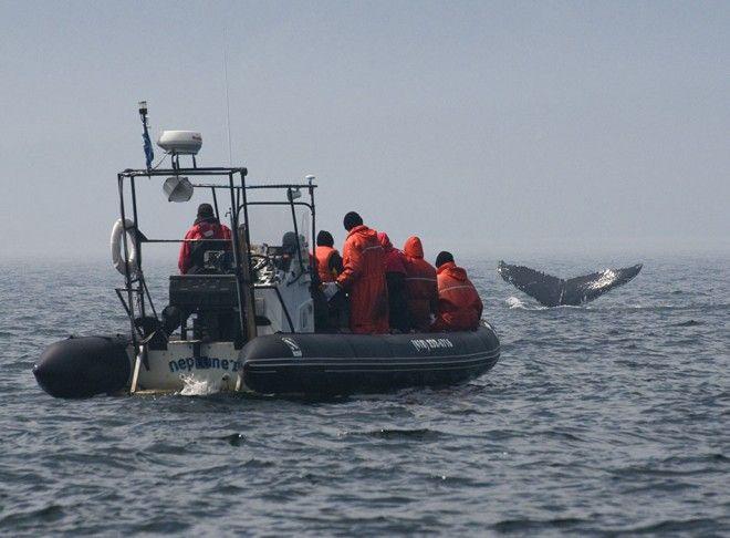 Observation des baleines sur le Fleuve Saint-Laurent. Qc. Canada