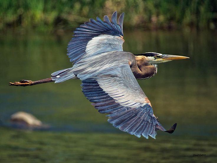 Great Blue Heron  by Steve Johnson on 500px