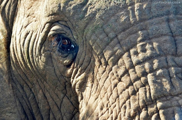 It's not easy to see an elephant's eye.  Addo Elephant National Park, South Africa. http://geogypsytraveler.com/2014/08/01/foto-friday-fun-70/
