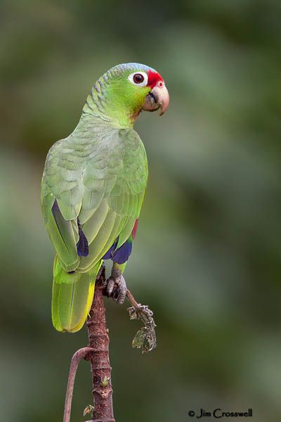 The Red-lored Parrot (Amazona autumnalis)