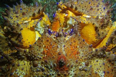 A puget sound king crab shows it's true colours including brilliant oranges, yellows, and an incredible blue.