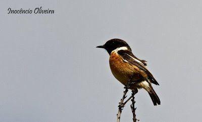 Parque de Avioso: Cartaxo / Common Stonechat / Saxicola torquata macho