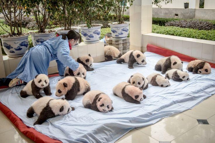 Есть такая профессия— панд поодеялу раскладывать