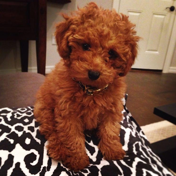 Regis • Toy Goldendoodle. I'm in love