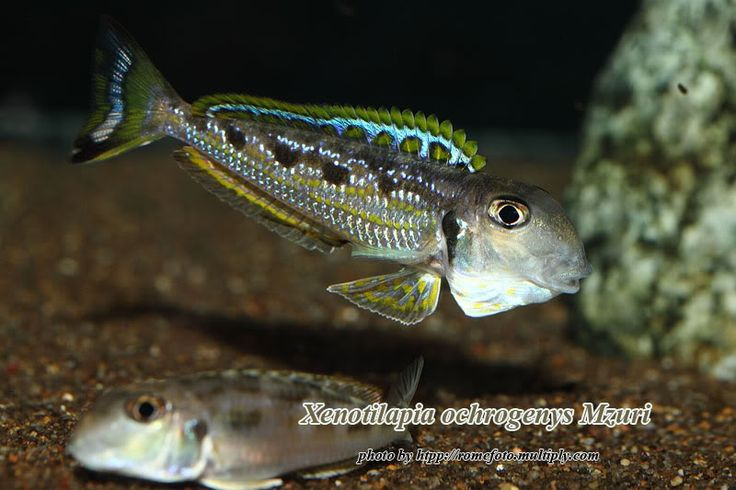 1031 best cichlids images on pinterest fish aquariums for African freshwater fish
