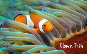 """Clown fish have a lot to live up to! After their leading role in the movie """"Finding Nemo"""" they've become one of the icons of the Great Barrier Reef and are a common colourful sight. They live within the venomous tentacles of anemones hiding away from any potential predators, but always put on a playful show for snorkellers and divers."""