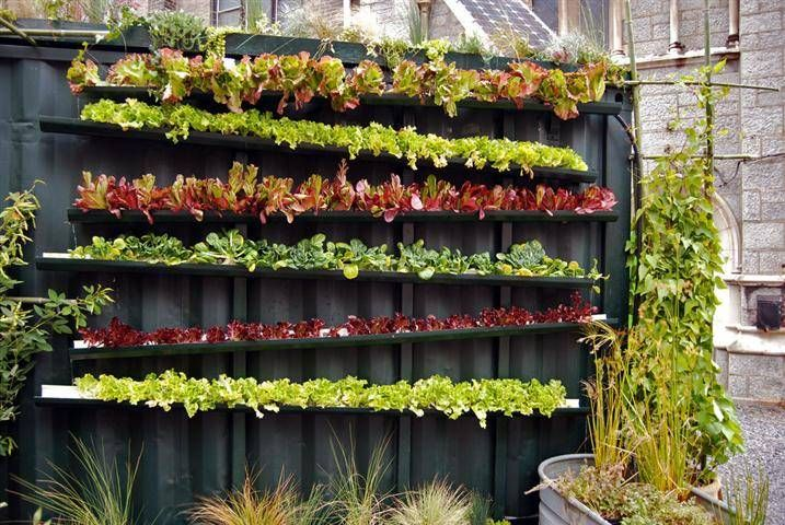 Eat out of your gutters (lettuce grown in a raingutter vertical garden)