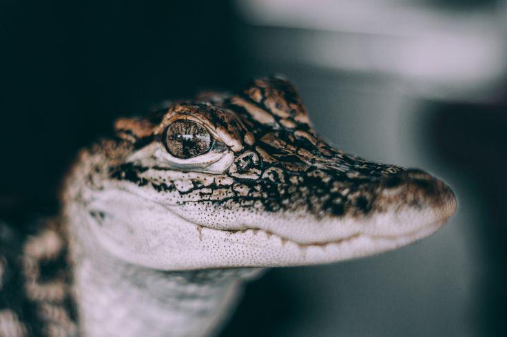The Baby Alligator, by Jackson Jost | Unsplash