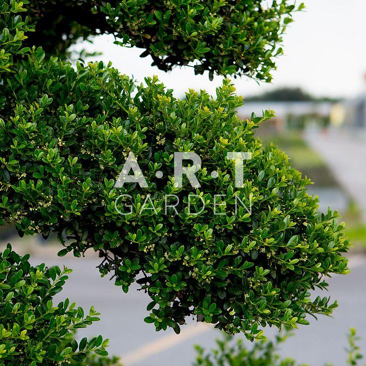 arbre chic arbres nuage japonais bonsai geant pinterest jardins art et chic. Black Bedroom Furniture Sets. Home Design Ideas