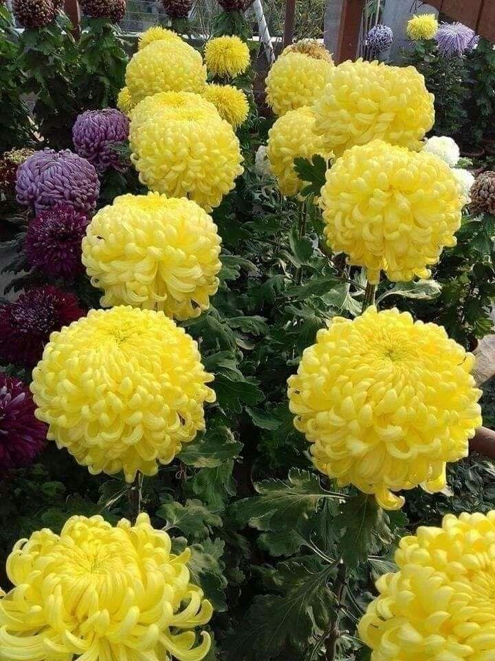 Chrysanthemum Grandiflorum Plantas