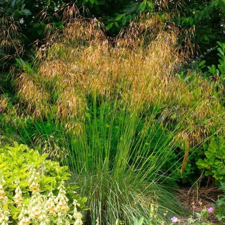 Stipa gigantea golden oats grass large garden for Large grasses for gardens
