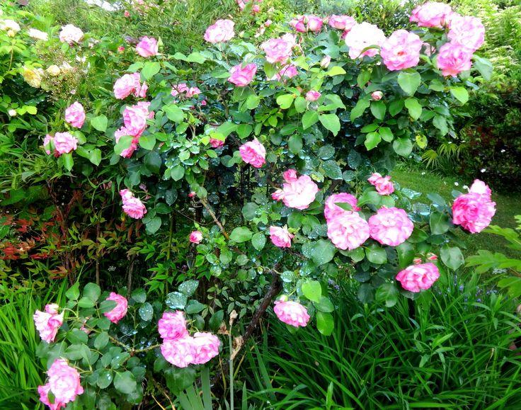 2 cespugli molto belli e molto rifiorenti....la gialla ROSA PILGRIM di David Austin sullo sfondo e la rosa moderna COLOMBINA bianca con il bordo dei petali colorato di fucsia.