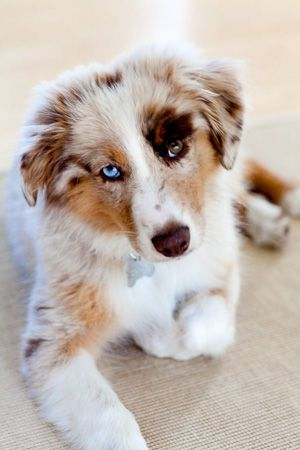 .Gorgeous red merle Australian Shepherd with striking bi-colored eyes. Ahhhh they're my favorite! Gorgeous yet so smart and loyal! :)