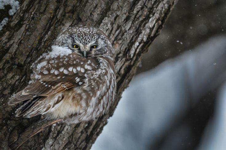 Nyctale de Tengmalm | Boreal owl | Aegolius funereus  Encore une fois je tiens à remercier François et Marie-Josée pour leur généreux et si sympathique accueil et à Maxime et Sandra pour avoir localisé au petit matin la merveilleuse bête.  La belle et rare Tengmalm... Une autre image de cette si belle et rare Nyctale rencontrée sur deux jours au Domaine de Maizerets. La première journée sous une petite neige nous avons eu ce grand privilège de l'observer dormir, baîller, régurgiter la bou...