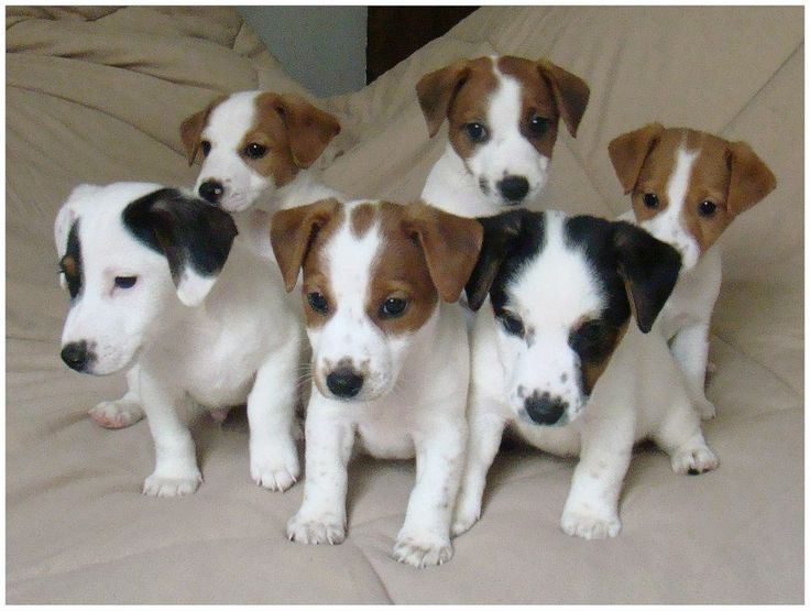 Canil Hunter Dream - Jack Russell Terrier Filotes disponiveis