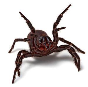 Australian spiders - Sydney Funnel-web