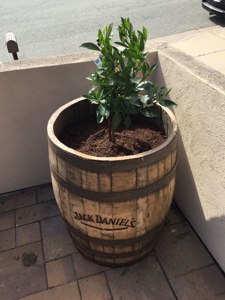 Once top removed place your dwarf tree in to your Jack Daniels pot.