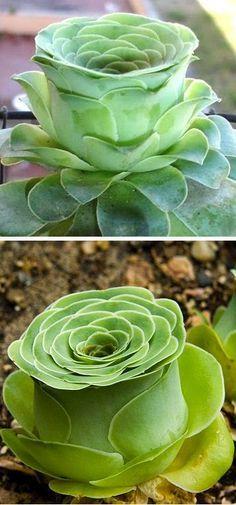 I love this! Rose-shaped succulent called Greenovia dodrentalis