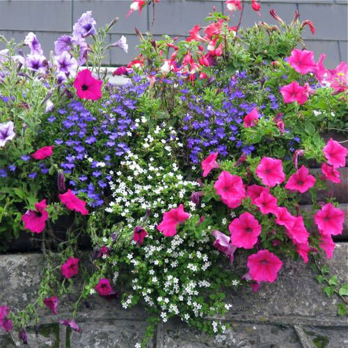 I think a container garden is heaven.  This stone railing box features brightly colored petunias, lobelia and fuchsia. Colors are so beautiful, love it!!