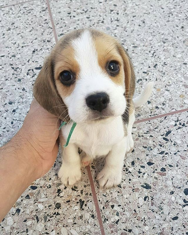 Dogs On Cute Beagles Beagle Puppy Dog Love