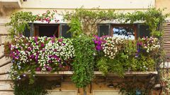 Osoby, które zamiast ogrodu muszą zadowolić się balkonem, mogą spróbować swoich sił w doniczkowej uprawie różnego typu roślin. Takie zajęcie przyniesie wiele korzyści, które zależeć będą od tego, jakie rośliny zdecydujemy się hodować. Co mamy do wyboru?