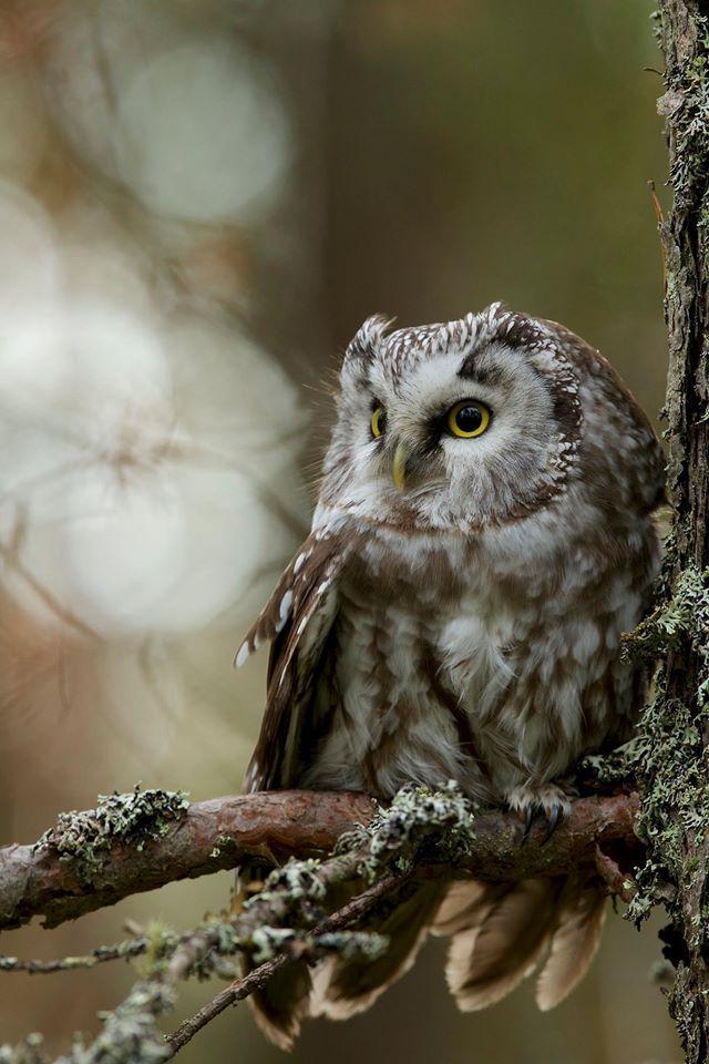 Boreal Owl, Finland (Aegolius funereus)
