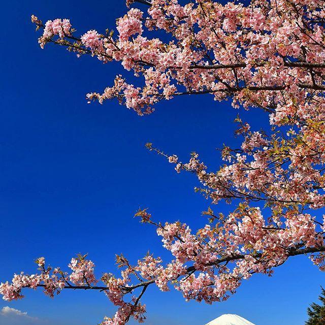 【mr_ebisu】さんのInstagramをピンしています。 《. Early blooming cherry blossoms.🌸 (2017.02.19.Sun.) . #Japan_Daytime_View #wu_asia #wu_japan #worldunion #mtfuji #富士山 #team_fujisan #mrE_fujisan #ザ花部 #cherryblossoms #sakura #landscape_captures #wonderful_places #ahd_shotz #awesome_earthpix . . 松田山ハーブガーデンのまつだ桜まつりに行ってきました。 青空に映える河津桜のピンクでした🌸 . ここから富士山が見かえたのは、富士山を主に撮り始めてからは初めてかも😍 . #mr_ebisu #rsa_light #insta_crew #main_vision #東京カメラ部 #PHOS_JAPAN #wu_asia #wu_japan #worldunion #ig_japan #_thisisjapan…