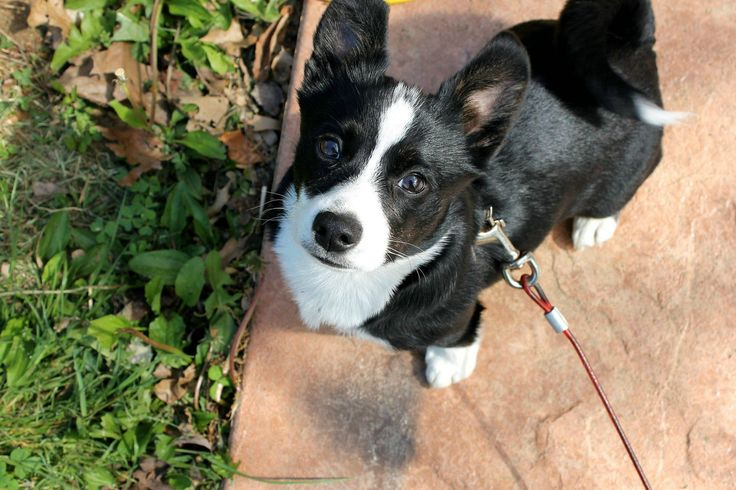welsh corgi & boston terrier mix - I've decided pretty much anything crossed with a corgi is cute.