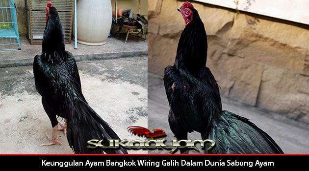 Foto Ayam Wiring Galih Keunggulan Ayam Bangkok Wiring Galih Dalam Dunia Sabung Ayam
