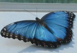 The stunning Blue Morpho Butterfly is one of 80 species classified as Morpho butterflies. The Blue Morpho Butterfly is a large butterfly with a wingspan that may measure up to six inches. It has iridescent blue wings with black wing edges. The upper edges are flecked with white. The butterfly's brilliant blue coloration is the result of light diffraction from millions of tiny scales on the wings. Females are much less colorful than males.